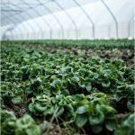 Growing Crops in Polytunnels: The Pros, Cons & Other Considerations