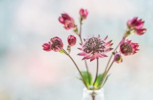 Astrantia is a beautiful flower