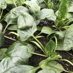 How To Grow Winter Salads and Leaves  in Greenhouses, Tunnels and under Cloches in The UK