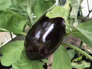Aubergine produce marvellous fruit