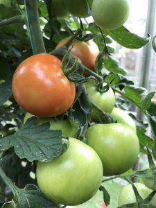 Are Grafted Vegetable Plants, Such as Tomatoes, Worth The Extra Cost