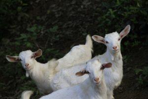 Goats can improve soil fertility