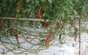 Commercial Layered Tom Need A Lot of Space. Grafted Vegetable Plants Can Be Worthwhile in This Commercial Environment.