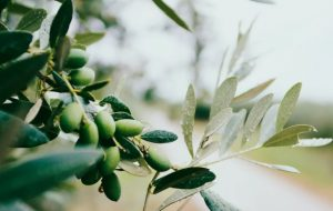 Grafted Fruit Trees: Olives