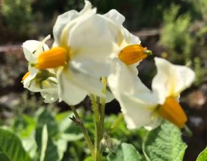 Well chitted potatoes lead to wonderful potato flowers earlier than would have happened