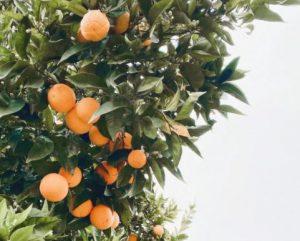 ASre Persimmon An Exotic Fruit in UK Gardens