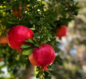 Pomegranate are an unusual fruit in UK gardens