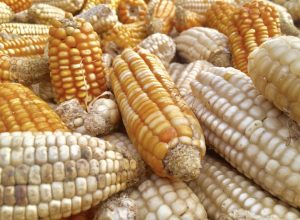 White Maize Can Be Grown in the UK