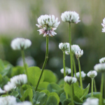 Green Manures & Cover Crops