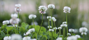 Green manures include the use of crops such as clover.